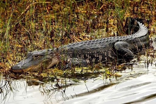 Bắt sấu rừng U Minh Hạ (Sơn Nam)